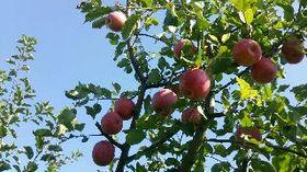 2014リンゴ .JPG