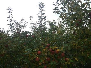 12りんご.jpg