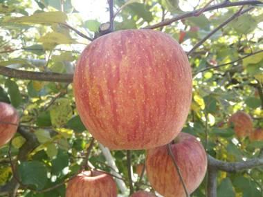 8りんご.jpg