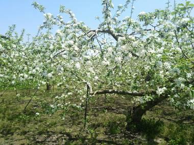 りんご畑.jpg